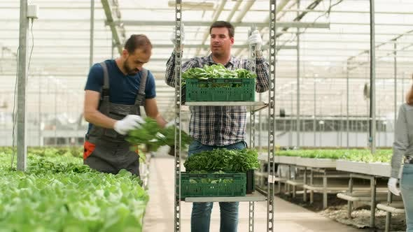Thumbnail for Farm Worker in a Modern Greenhouse Harvesting Green Salad