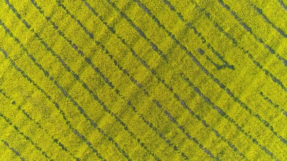 Thumbnail for Aerial Top View on Flowering Rapeseed Field