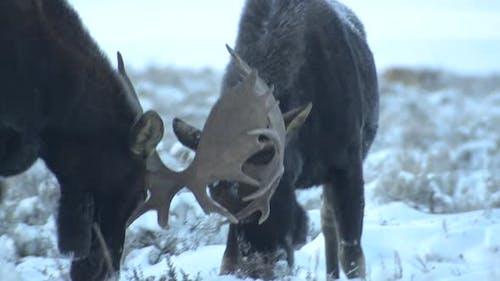 Moose Bull Adult Pair Eating Feeding in Winter Dawn Morning Sparring Playing Antlers