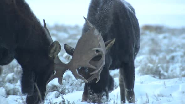 Thumbnail for Moose Bull Adult Pair Eating Feeding in Winter Dawn Morning Sparring Playing Antlers
