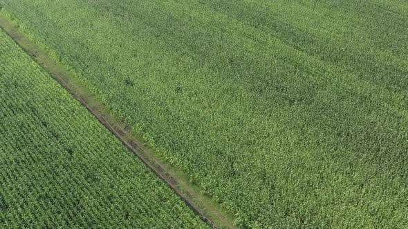 Thumbnail for High above agricultural crop of corn 4K drone video