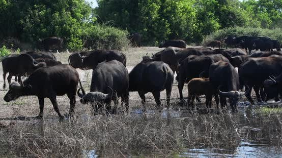 Cape Buffalo at Chobe river, Botswana safari wildlife