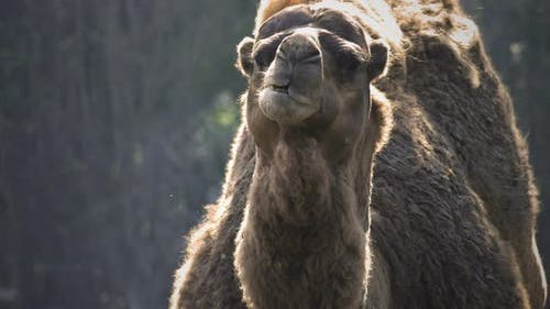 Säugetier Kamel