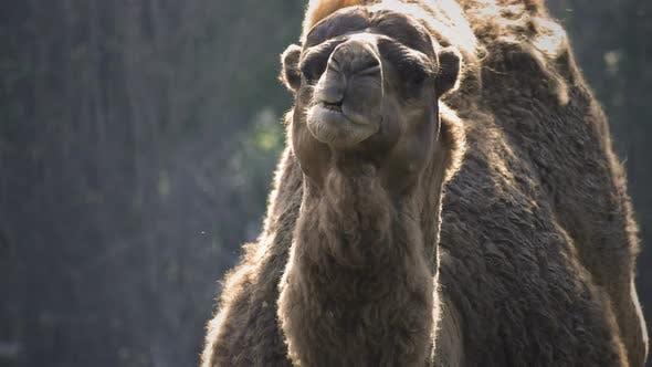 Thumbnail for Mammal Animal Camel