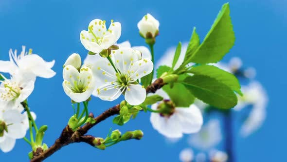 Thumbnail for Sour Cherry Blossom 1
