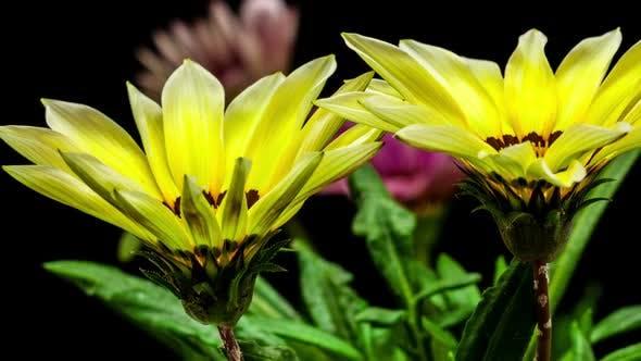 Thumbnail for Gazania Flower Blossoming 5