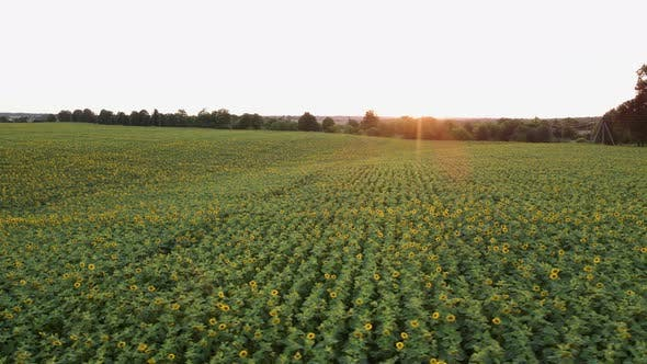 Thumbnail for Aerial View of Sunflowers Field, Drone Moving Across Yellow Field of Sunflowers, Rows of Sunflowers