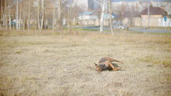 Thumbnail for Funny German Shepherd Dog Playfully Rolling on the Grass