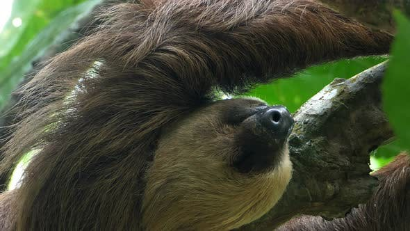 Thumbnail for Three-toed Sloth Climbing up a Tree in the Rainforest