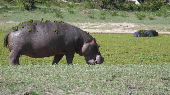 Cover Image for Hippopotamus with duckweed walking near a lake