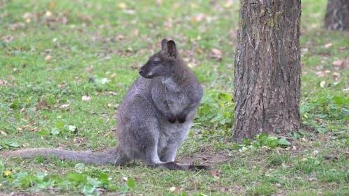 Kangaroo is cleaning its skin