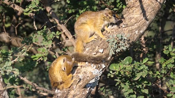 Thumbnail for Two African bush squirrels in a tree