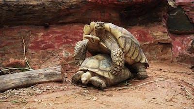 Aldabra giant tortoise (Aldabrachelys gigantea) mating in the garden