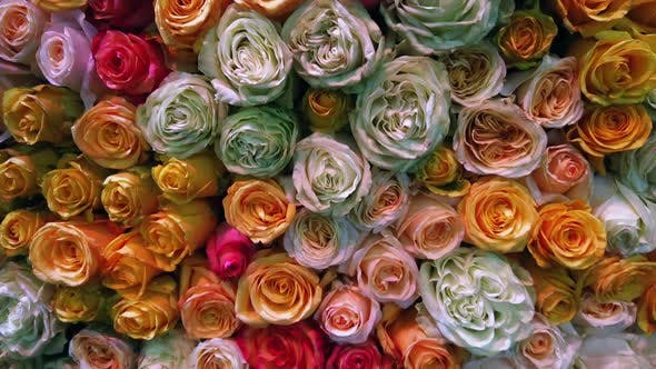 Thumbnail for Different Colors of Fresh Roses Grow