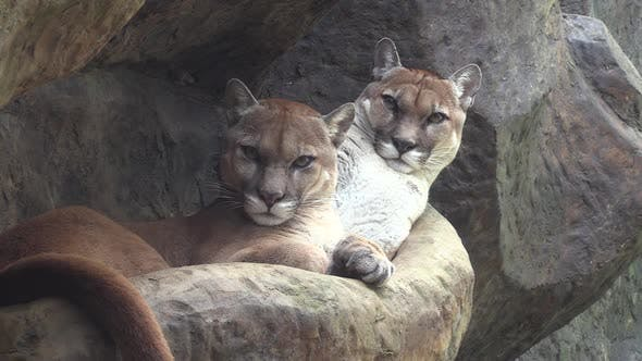 Mountain Lion Female Adult Immature Pair Looking At Camera