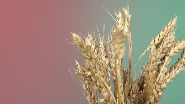 Thumbnail for Dry Ripe Ears of Wheat on Red and Green, Rotation