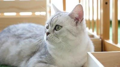 Cute British Cat Lying In Living Room
