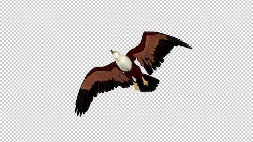Brahminy Kite - 4K Flying Transition - V