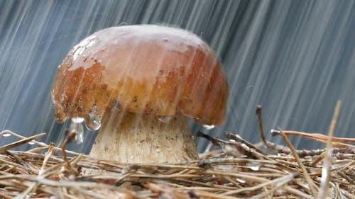 of Brown Cap Mushrooms Watering Rain Drop