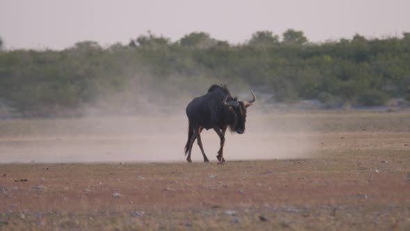 Thumbnail for Wildebeest walking on a dry savanna