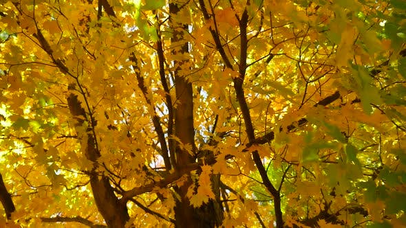 Thumbnail for Large Tree With Colorful Leaves In The Fall