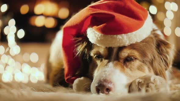 Thumbnail for A Dog in a Festive Cap Is Resting Near the Christmas Garlands. Cozy Home and Christmas Holidays