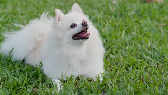 Thumbnail for Pomeranian dog in the city park
