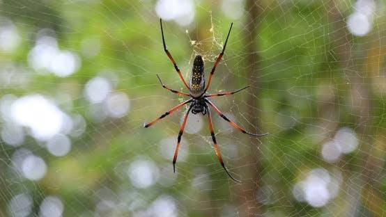 Golden silk orb-weaver on net Madagascar