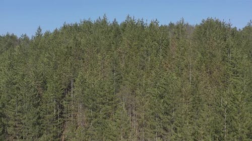Top of European silver fir Abies alba trees and blue sky 4K drone video