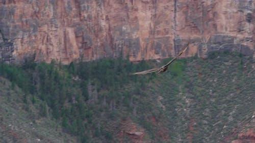Red-tailed hawk at Grand Canyon South Rim, Arizona, USA
