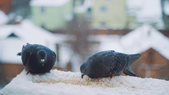 Thumbnail for Pigeons Feeding on Seeds in Winter