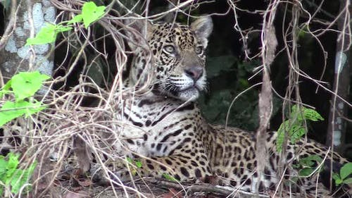 Jaguar Male Adult Immature Lone Sitting Looking Around in Brazil
