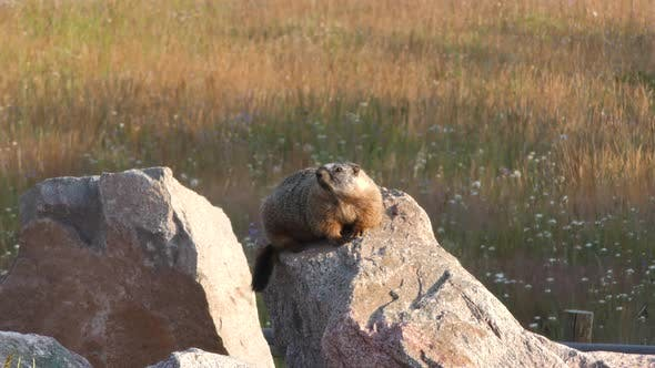 Thumbnail for Yellow-bellied Marmot Animal on Rock in Wyoming Bighorn Mountains
