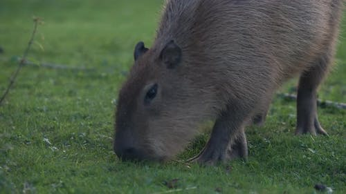 Capybara Hydrochoerus Hydrochaeris Nibbles Grass on the Field. Summer Evening.