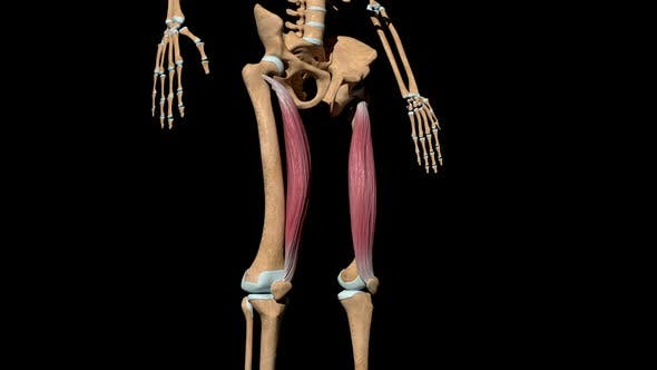 Thumbnail for Vastus Medialis Muscles On Skeleton