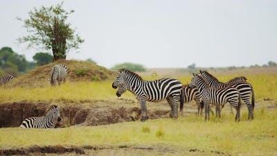 Zebras in the savanna