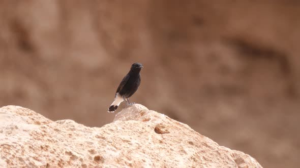 White-crowned wheatear on a rock