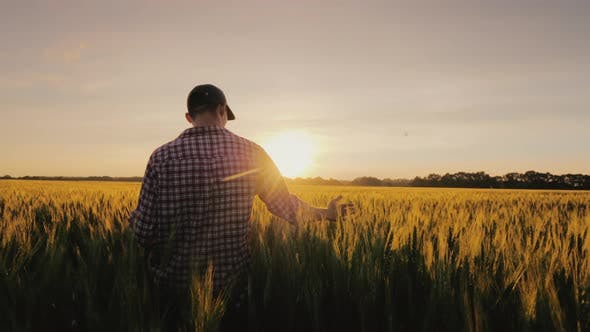 Thumbnail for A Man a Farmer Walks Across a Field of Wheat in the Rays of Sunset, Stroking Spikelets with His Palm