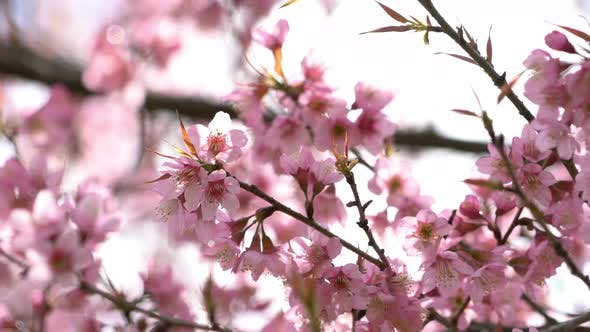 Cherry Blossom Blowing On The Wind