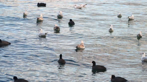 Cover Image for Seagulls and Ducks Swim In the Sea