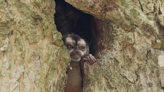 Panamanian Night Monkey Pair Monkeys Scratching Itching. Rubbing Tree Cavity Hole Den Home