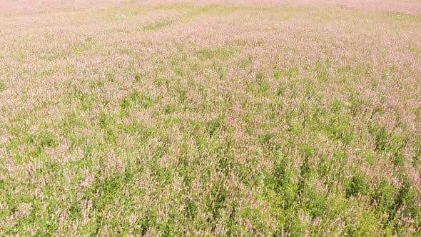 Thumbnail for Blooming Buckwheat Field