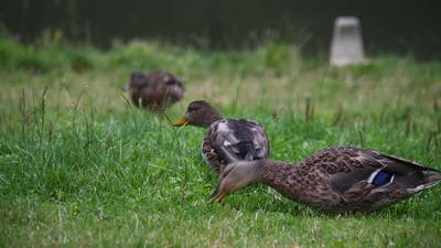 Ducks Eating Grass