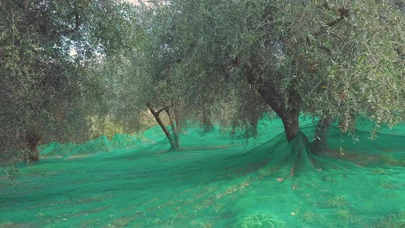 Thumbnail for Olive Trees Agriculture Cultivation