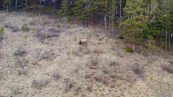 Aerial View of a Male Red Deer on a Mountainside in the Forest