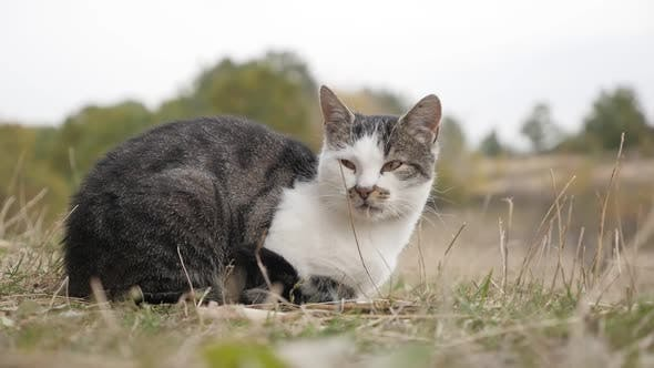 Thumbnail for Felis catus domesticated animal resting outdoor in the field slow-mo  1080p HD footage - Domestic ca