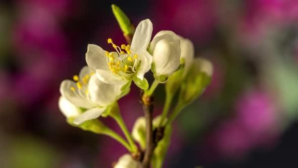 Thumbnail for Plum Blossom Timelapse on Black