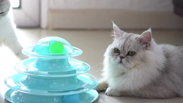 Cute Persian Cats Playing Toy In Living Room