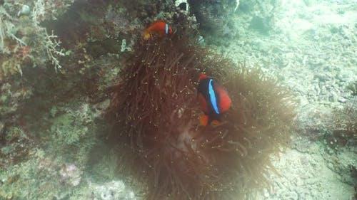 Clownfish Anemonefish in Anemone