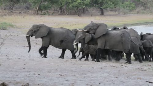 Herd of African elephants going out from waterhole, Etosha national Park, Ombika